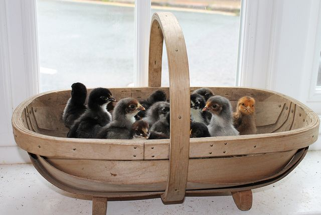 chicks in a trug by colouritgreen, via Flickr  See her blog colouritgreen.wordpress.com/2012/06/03/chicks-in-a-trug/