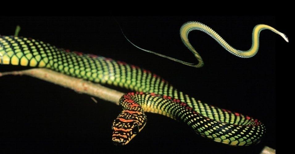 """Uma cobra voa? Esta da foto sim, e 10 metros. A cobra asiática """"Chrysopelea paradise"""" ganhou notoriedade em 2010 quando pesquisadores testaram sua habilidade para """"pular"""" de uma árvore para a outra com movimentos que simulam um chicote. Em novo estudo, de março de 2014, os mesmos pesquisadores da Virginia Tech criaram modelos computacionais para entender a aerodinâmica do voo. A cobra posiciona seu corpo em um ângulo de 35º e o deixa mais achatado para aproveitar vórtices de ar, que deixam a…"""