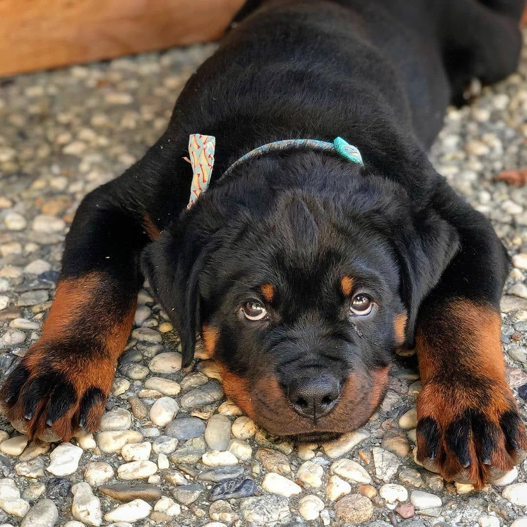 Pin By Melissa Terry On Rottweiler In 2020 Smartest Dog Breeds