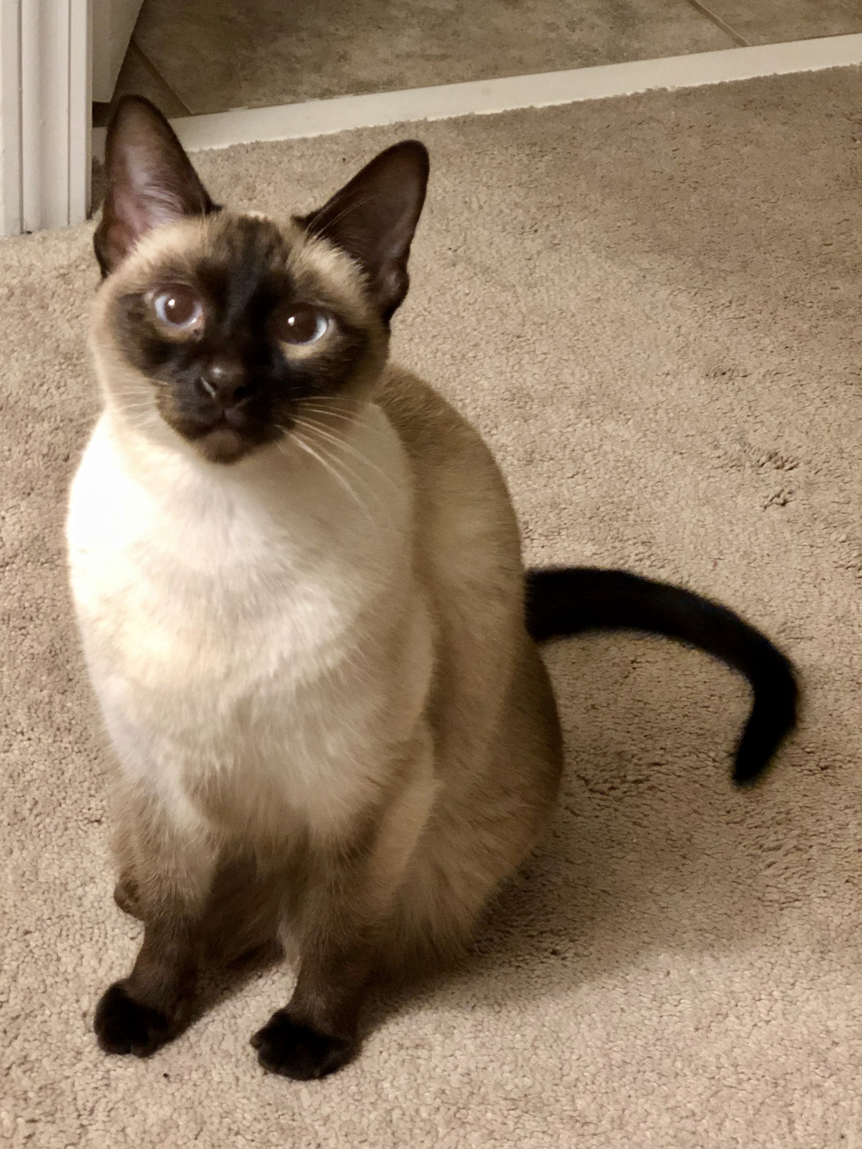 Pin By Cat Lovers Only Com On Chocolate Point Seal Point Siamese Beautiful Cats Cats Pets Cats