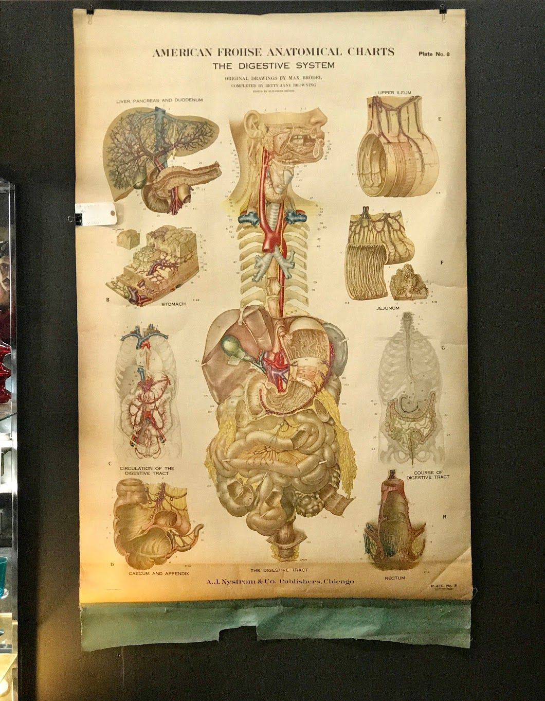 Vintage Anatomical Pull Down Chart On Sale Dealer #SJK Was $289 Sale ...