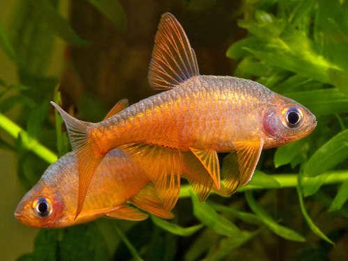 Info Fire Rasbora Aquarium Hobbyist Resource And Social Networking Community Aquariumdomai In 2020 Tropical Fish Aquarium Tropical Freshwater Fish Aquarium Fish