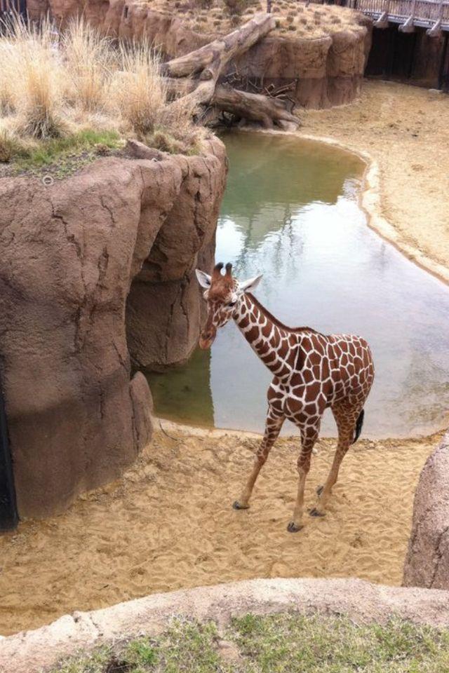 Dallas Zoo Giraffe Exhibit Spent Hours Here Zoo Giraffe Dallas Zoo Giraffe
