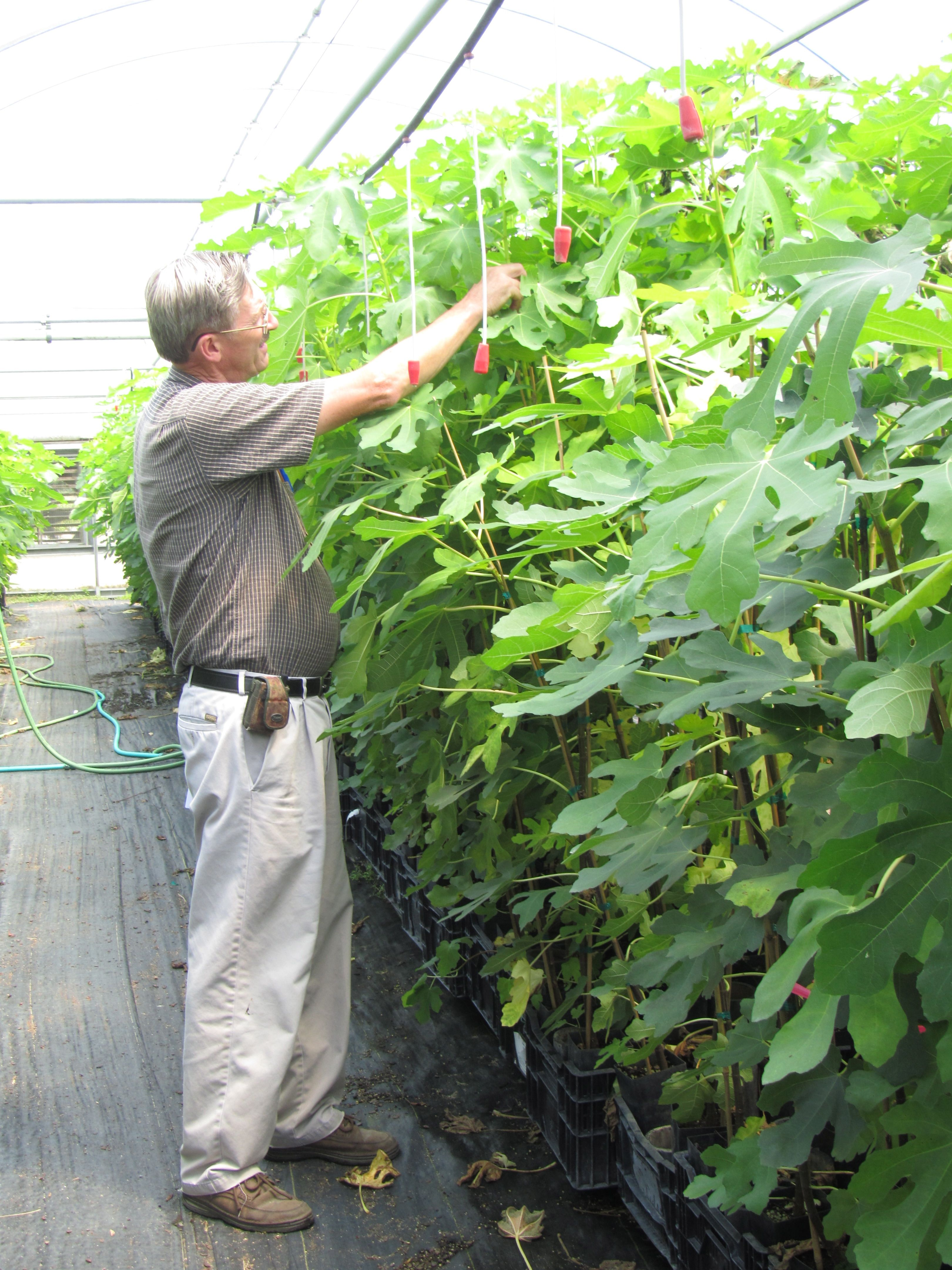 Fig trees in our Greenhouse   #starkbros   Fruits & Berries of ...