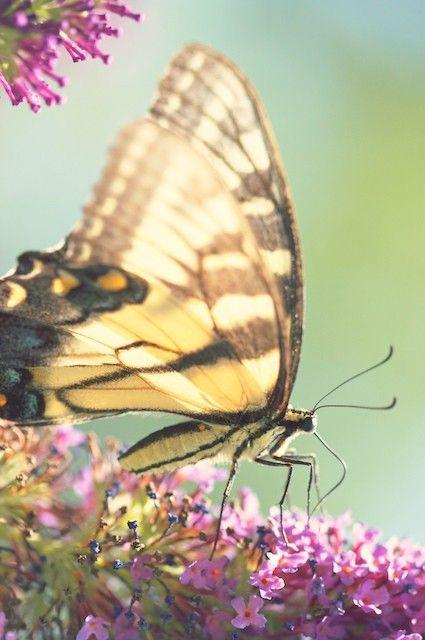 Butterfly Wings Photograph by Kim Fearheiley via Etsy #fpoe