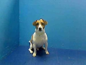 Newyork Urgent Russel Is An Adoptable Jack Russell Terrier Parson Russell Terrier Dog In Brooklyn Ny Brooklyn Anim I Love Dogs Animals Jack Russell