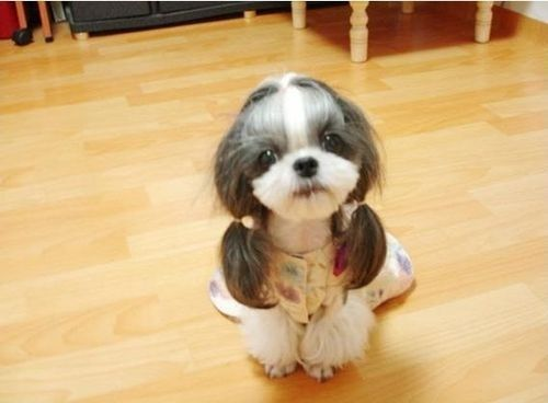 20 Sassy Dogs With Ponytails Cute Animals Cute Dogs Funny Dogs