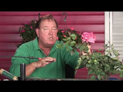 Growing Roses How To Prune Tall Rose Bushes Youtube Growing Roses Rose Bush Rose Cultivation