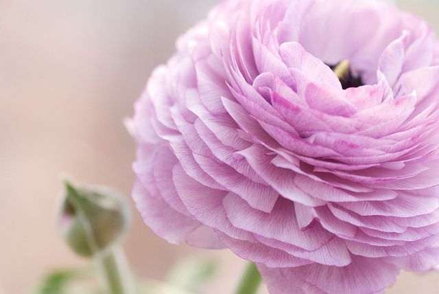Dusky Pink Ranunculus Pink Flower Photos Flowers Pretty Flowers