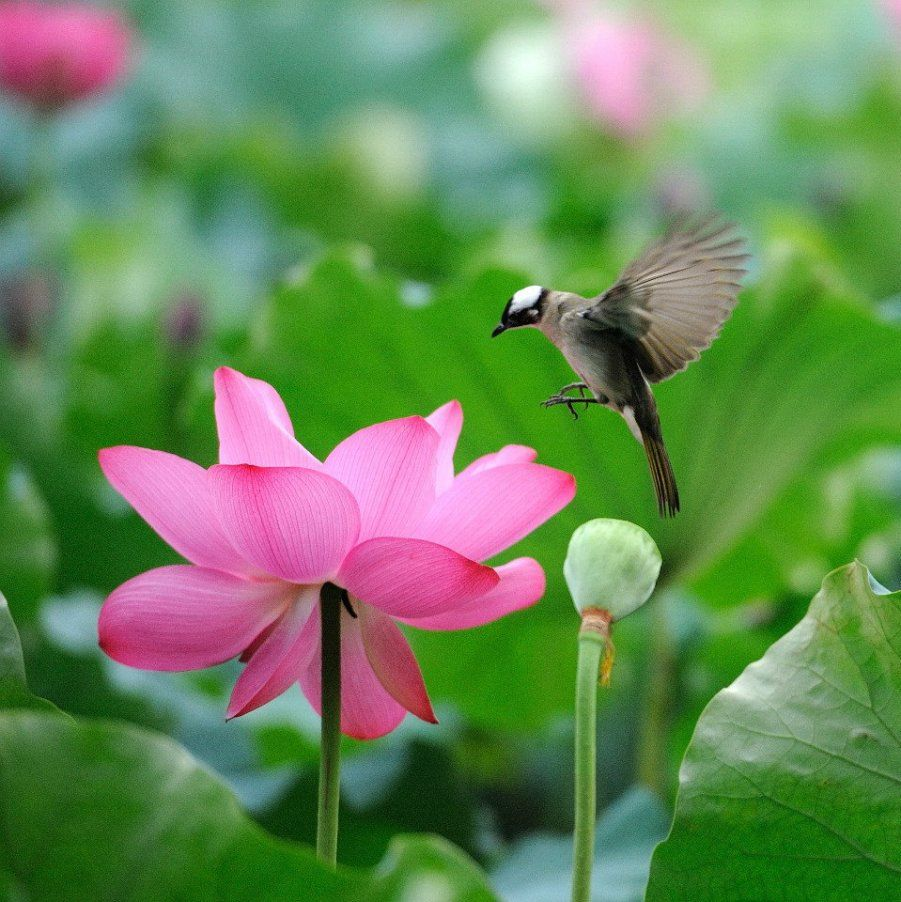Beautiful Lotus Flower And Cute Birds   still waters   Pinterest     Beautiful Lotus Flower And Cute Birds