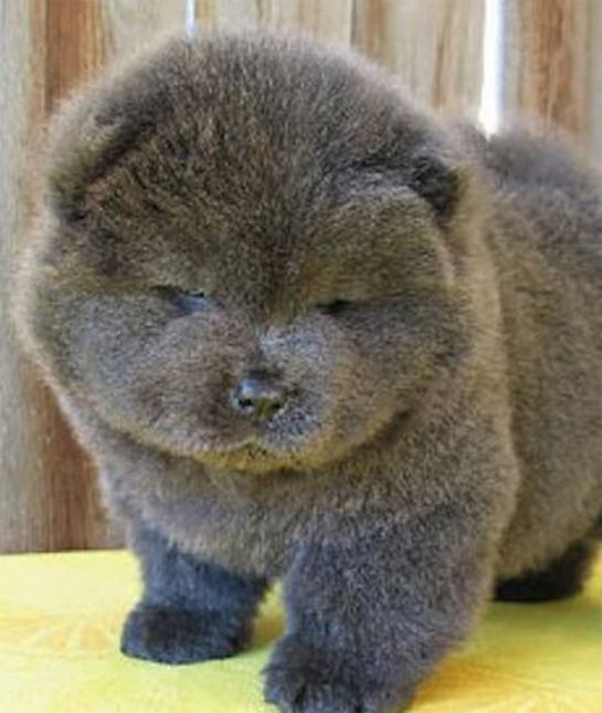 10 Puppies That Look Just Like Teddy Bears Dogs Dogs Dogs