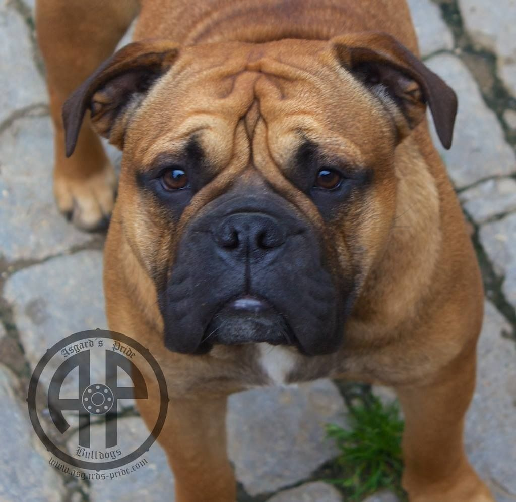 Pin Auf Continental Bulldogs By Ap