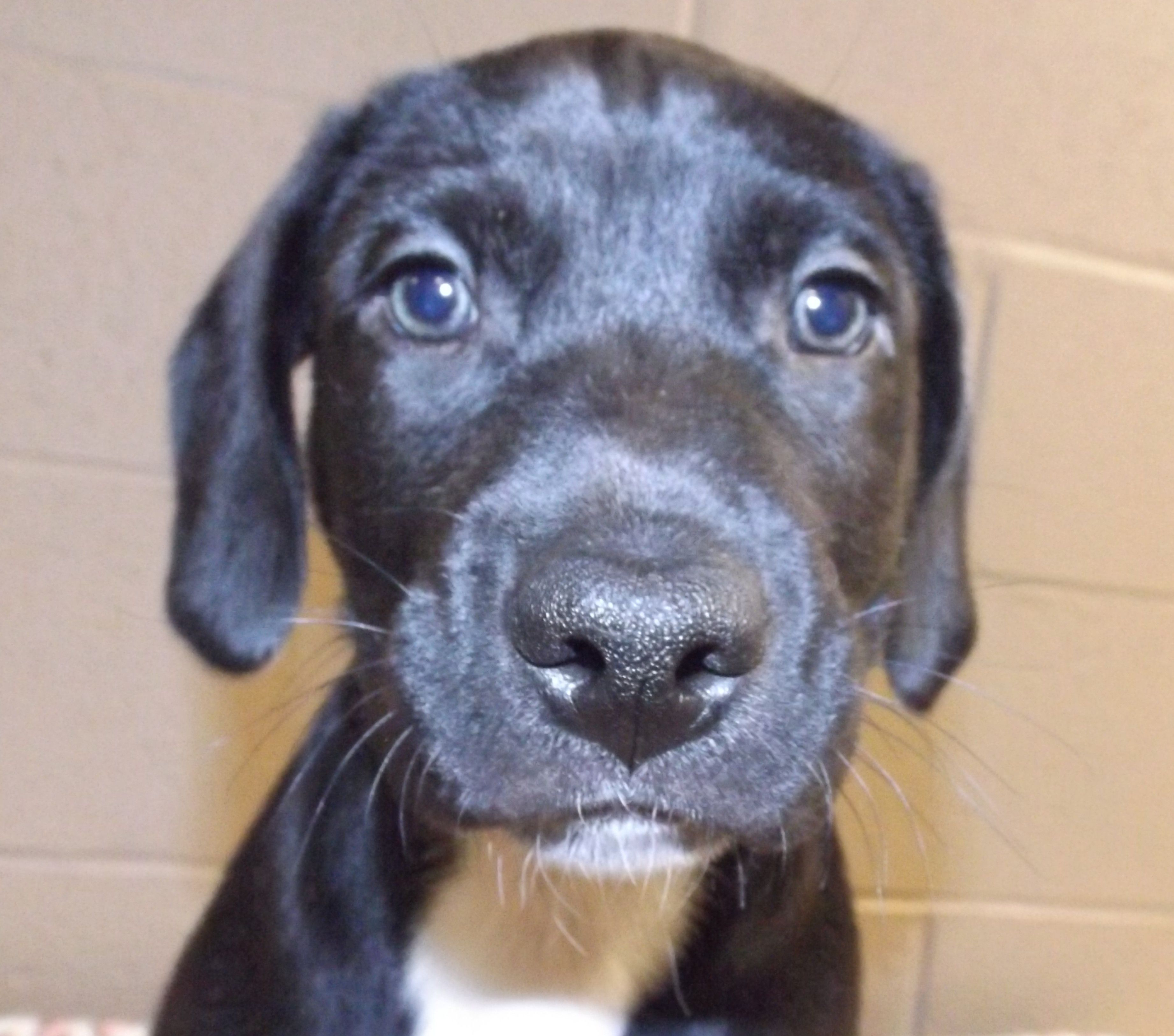 BullBoxer dog for Adoption in Oxford, MS. ADN564314 on