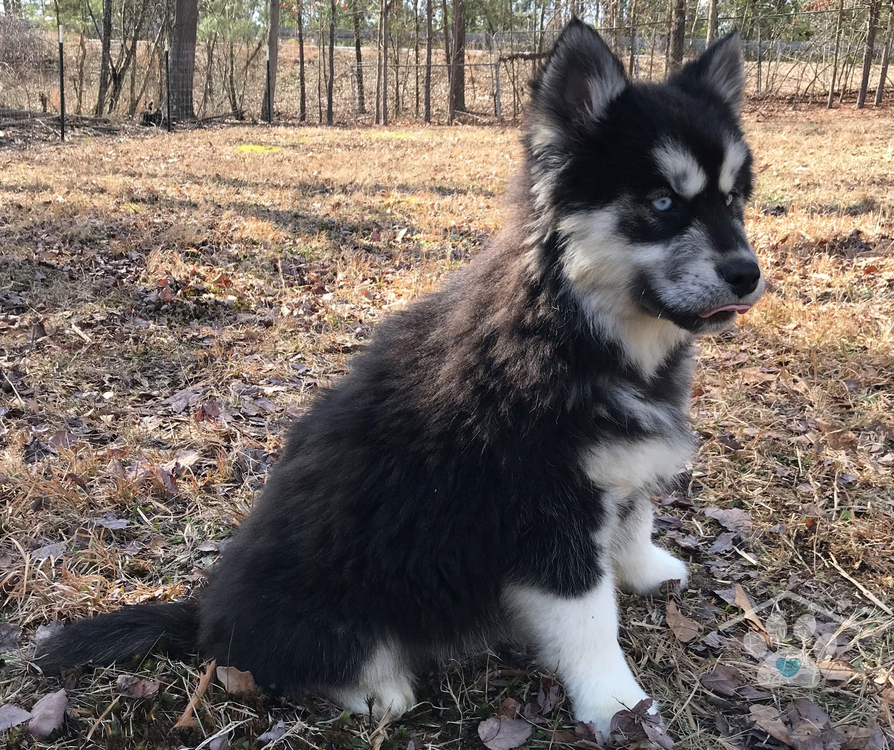 Meet Mischa! She is a Black and White Siberian Husky