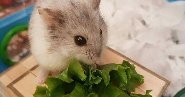 Just Pinned to Hamsters http//ift.tt/2q1Wirn Funny