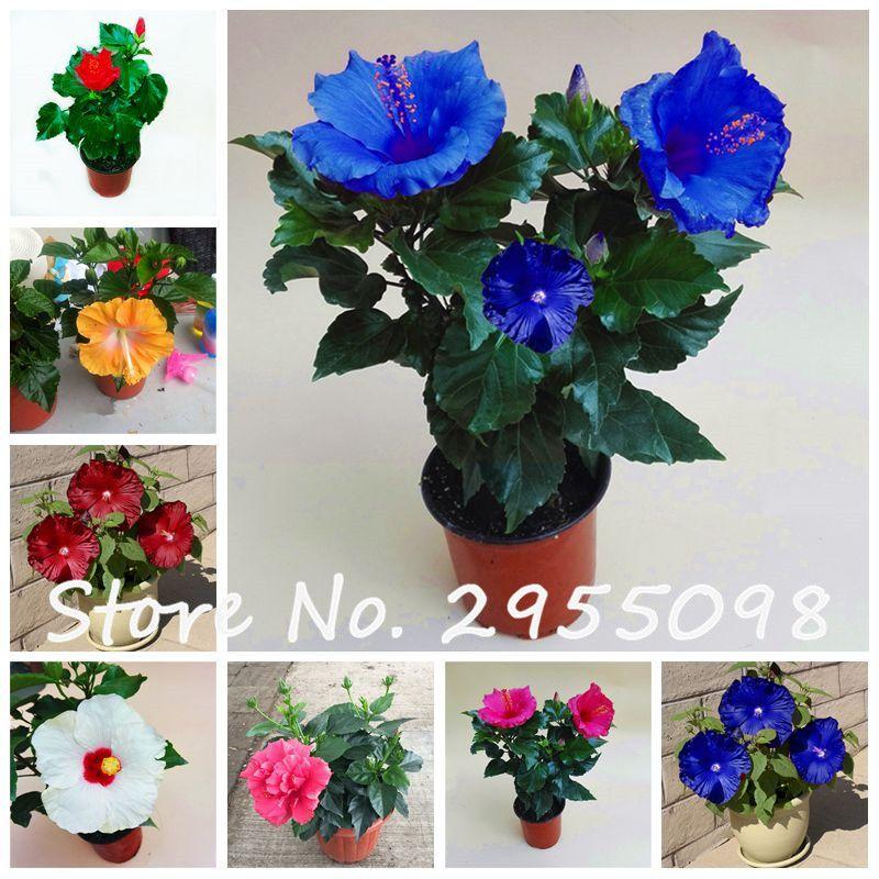 Chambres D\'ornement-plante Mini Bonsaï Hibiscus Graines, Rare ...
