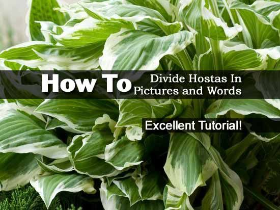 How To Divide Hostas In Pictures And Words Hostas