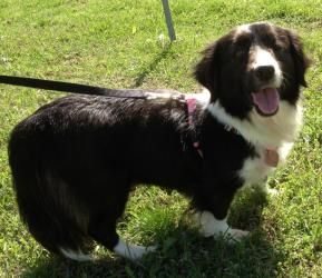 Adopt Blossom Adopted On Dogs Border Collie Collie