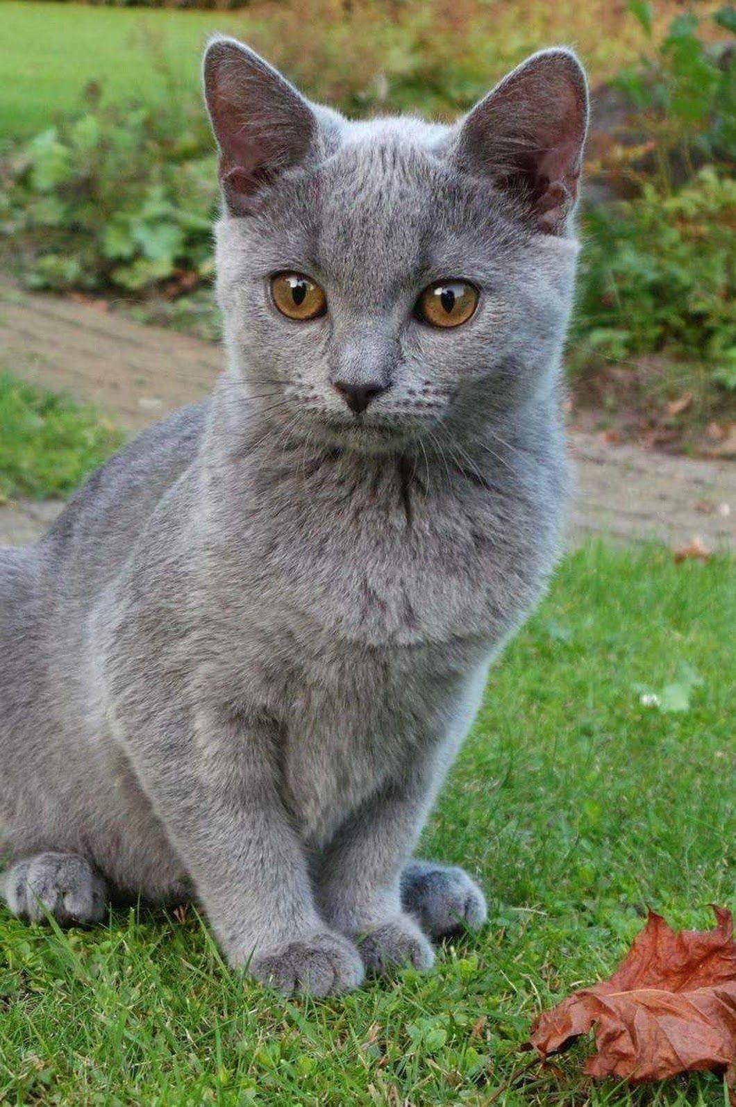 ג'קלין ולינוב (With images) Fluffy cat breeds, Cat