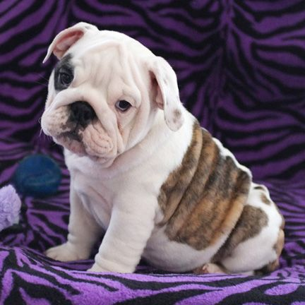 Shinermain Jpg 432 432 English Bulldog Puppies English