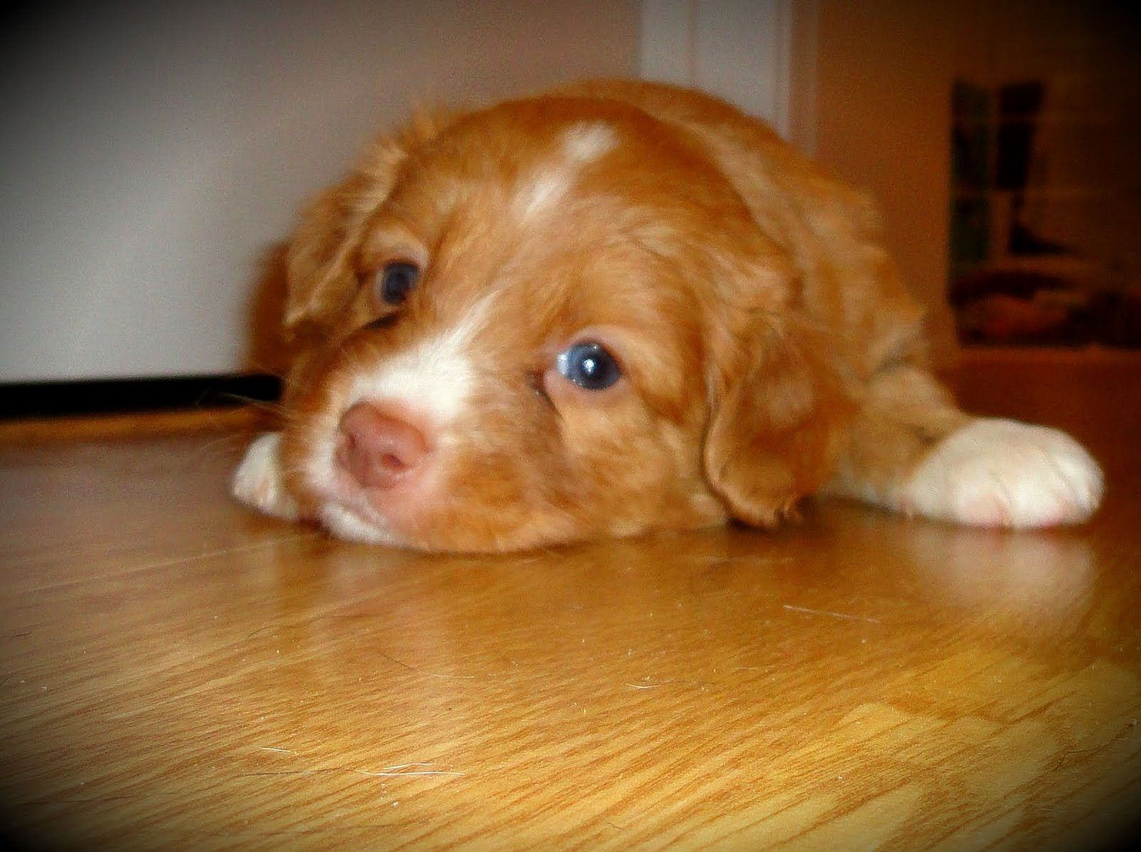Still Available 4 Male Puppies In Kitchener Ontario