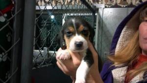 Puppies Nine Is An Adoptable Beagle Dog In Appleton Wi Nine