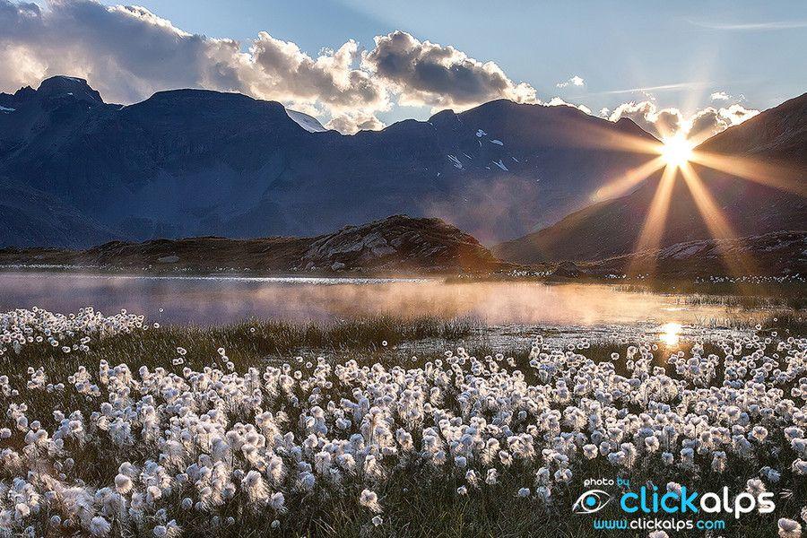 Eriophorum flowering near Bernina Pass_ Switzerland