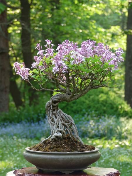 Bonsai En Fleur Magnifique Flowers The Minis Bonsai Bonsais