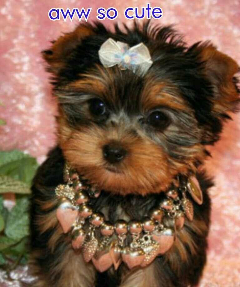 Yorkie puppies Yorkie puppy, Teacup yorkie puppy