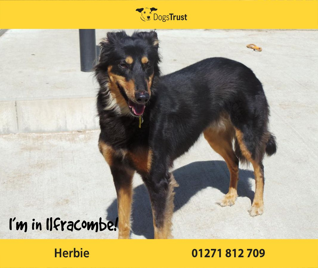 Herbie Here From Ilfracombe Is An Affectionate Boy Who Loves Fuss And Cuddles From Adults And Older Children He Is A Bit Nervous A Dogs Trust Dogs Dog Waiting
