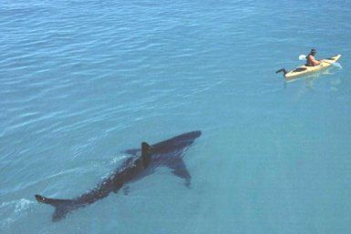 Basking Shark Follows Kayak At Panama City Beach In Florida Is 14 Feet Long Known For Feeding On Plankton