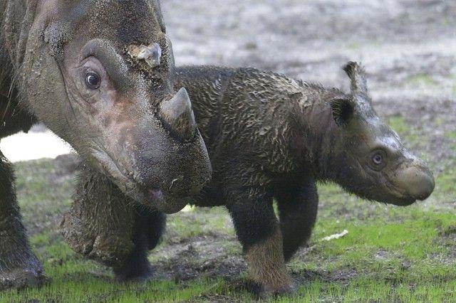 Hairy Rhinos!