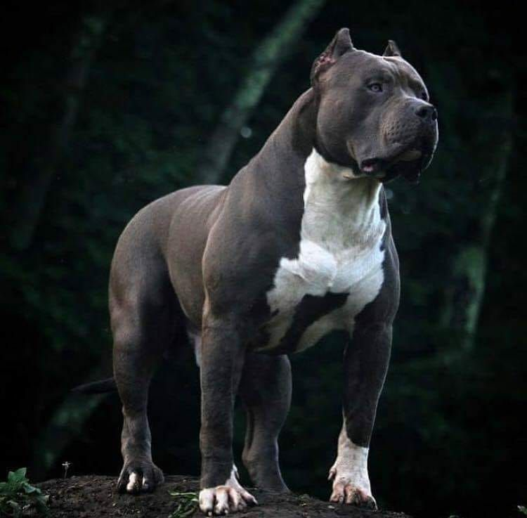 Pin By Neil Jardine On Brother Bully Breeds Dogs Pitbull Terrier Dogs