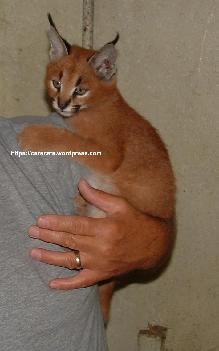 caracat kitten - caracal / abyssinian hybrid | Kitty kitty ...