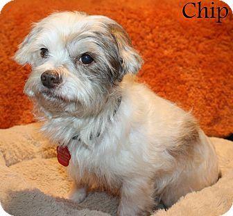 New Jersey Nj Shih Tzu Yorkie Yorkshire Terrier Mix Meet