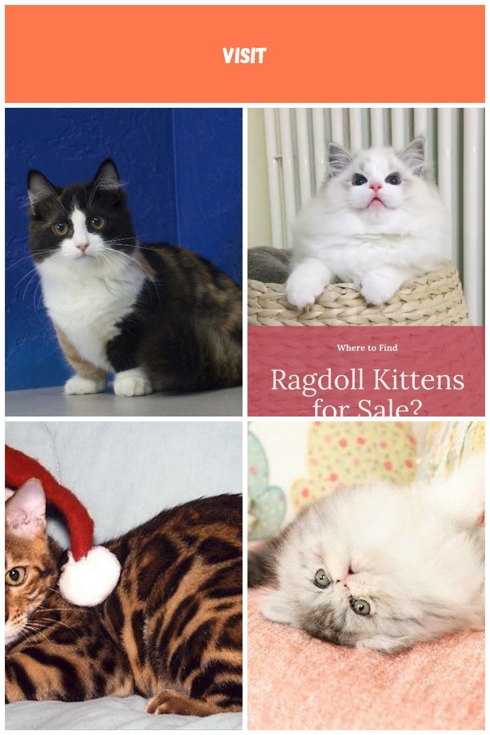 Ragdoll Kittens for Sale Near Me (With images) Ragdoll