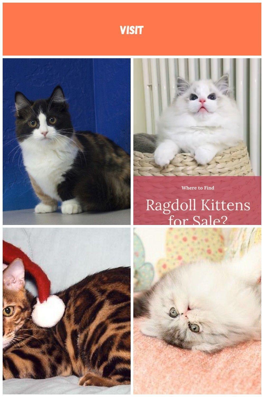 Ragdoll Kittens for Sale Near Me | Buy Ragdoll Kitten #ragdollkittens Ragdoll Kittens for Sale Near Me | Buy Ragdoll Kitten kittens For Sale #ragdollkittens Ragdoll Kittens for Sale Near Me | Buy Ragdoll Kitten #ragdollkittens Ragdoll Kittens for Sale Near Me | Buy Ragdoll Kitten kittens For Sale #ragdollkittens Ragdoll Kittens for Sale Near Me | Buy Ragdoll Kitten #ragdollkittens Ragdoll Kittens for Sale Near Me | Buy Ragdoll Kitten kittens For Sale #ragdollkittens Ragdoll Kittens for Sale Near #ragdollkittens