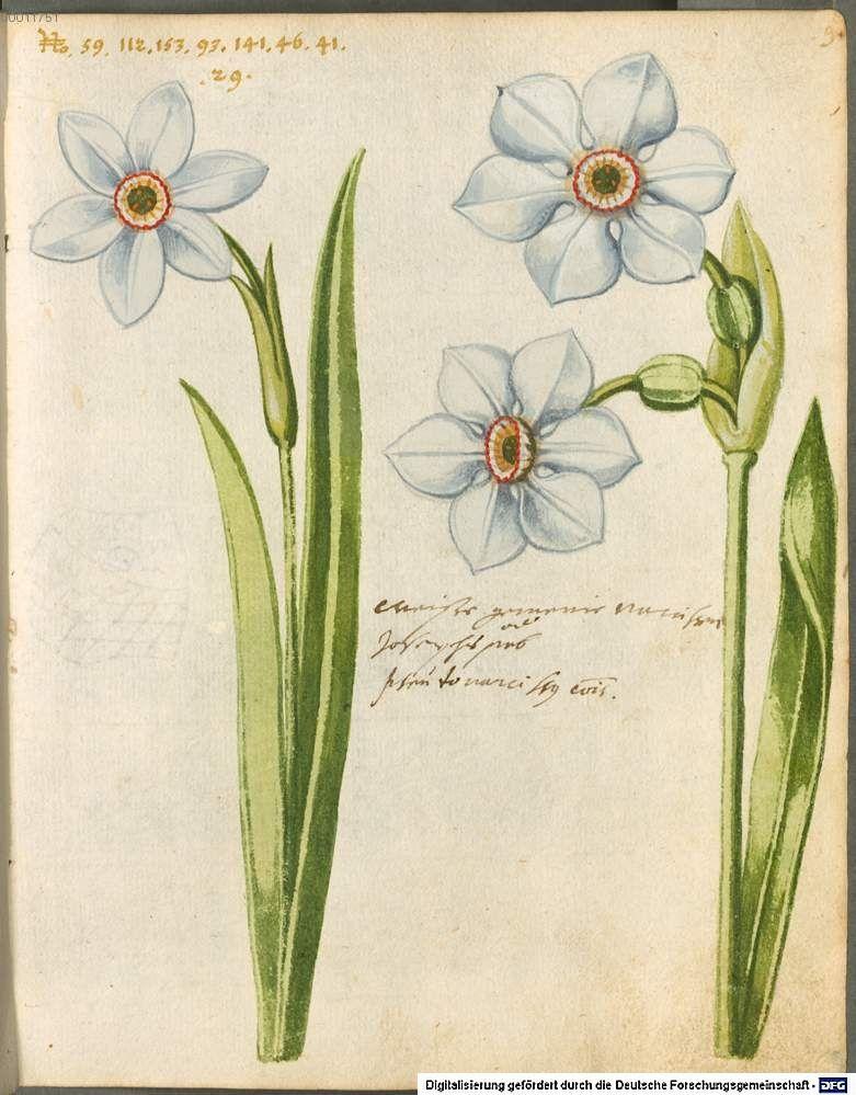 Hortulus Monheimensis, 1615. South of Germany. © Bayerische Staatsbibliothek