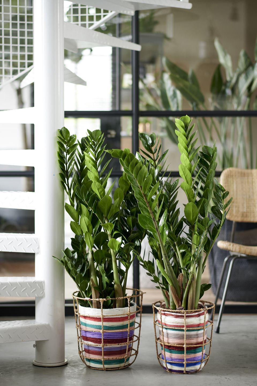 Plante D Intérieur Tendance le robuste zamioculcas zamiifolia est la plante d'intérieur
