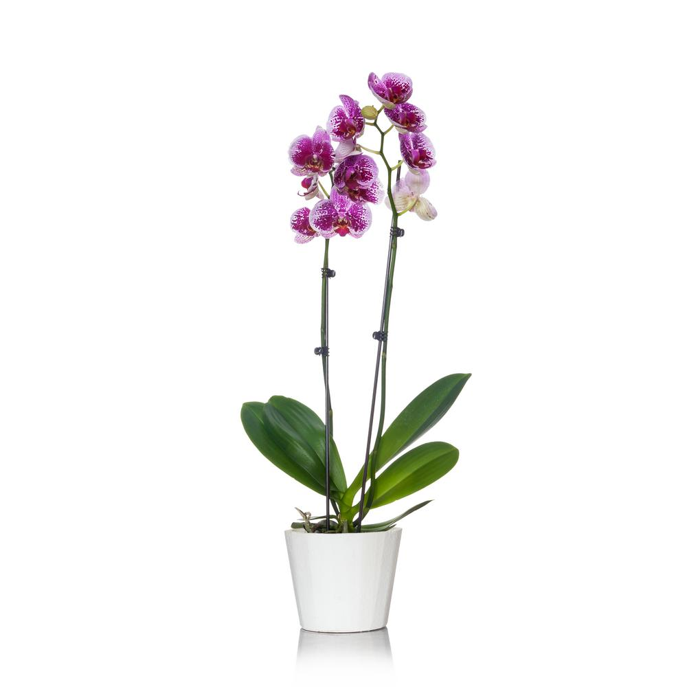 Just Add Ice White With Purple Spots 5 In Orchid Plant In Wood Pot 2 Stems In 2020 Orchid Plants Orchids Indoor Flowering Plants