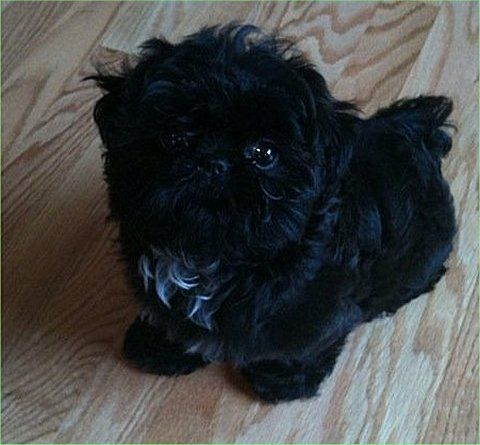 Solid Black Shih Tzu Puppy Looks Like Our Beloved Kelsey Shih
