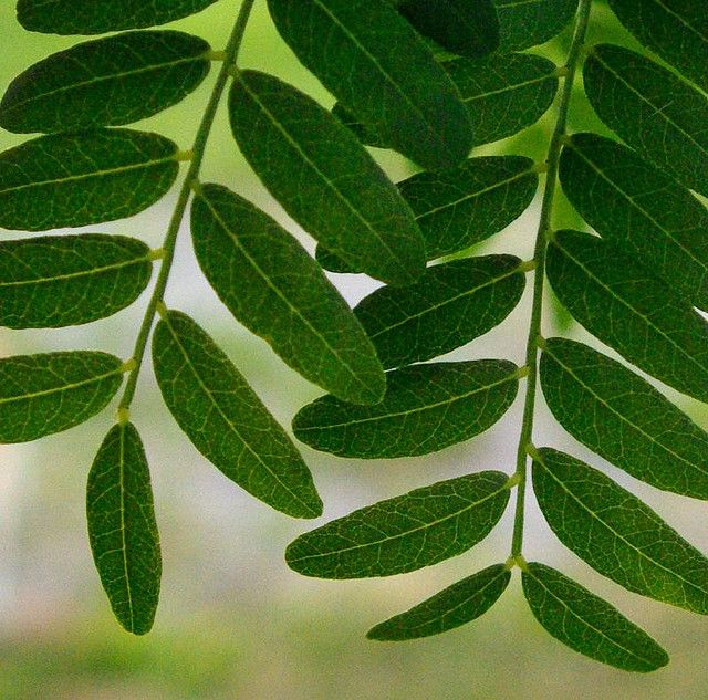 Honey Locust Tree Leaves Honey Locust Honey Locust Tree Leaf
