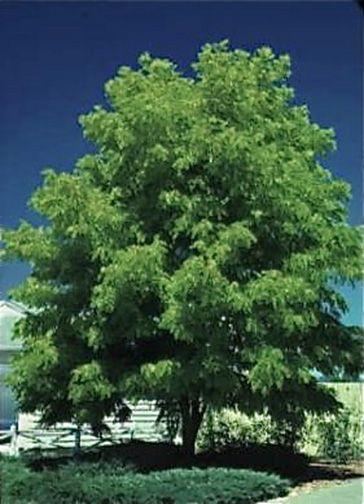 Shademaster Locust Honey Tree Best Shade Trees And Shrubs Deciduous