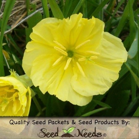 "1,000 Seeds, Primrose ""Evening Yellow"" (Oenothera lamarckiana) -favorite of Hawkmoths,fragrant Evening Primrose,US native ideal for xeriscaping,prairie & Moon Garden plantings. 1.95 pkt.myseedneed.com"