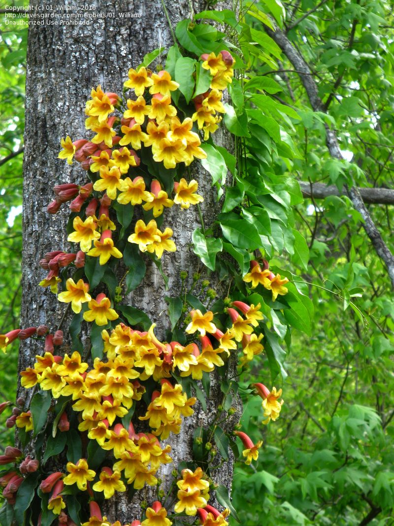 Full Garden In Backyard: Full Size Picture Of Crossvine, Cross-Vine, Trumpet Flower