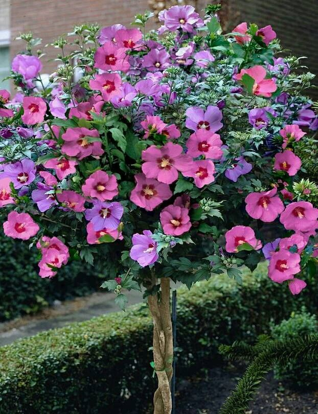 Braided Rose Of Sharon Tree One Of The Best Small Lawn Or Foundation Trees For Providing Summer Color Is Th Hibiscus Tree Rose Of Sharon Tree Hibiscus Flowers