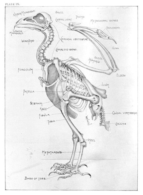 Eagle Anatomy Diagram 2002 Nissan Sentra Se R Spec V Radio Wiring Skeleton Of An Methods In The Art Taxidermy By Oliver Davie Published 1900