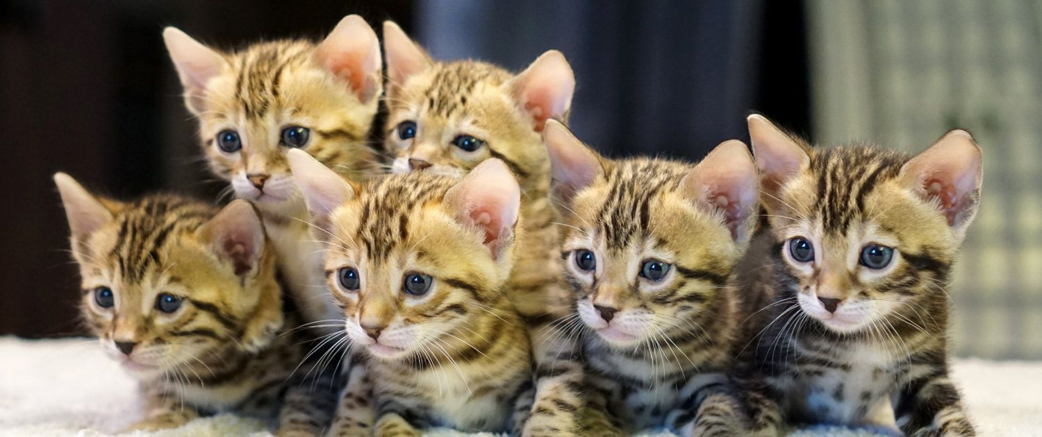 Leopards Realm Bengal Cats and Kittens Home Bengal