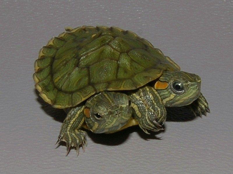 How Big Do Red Eared Slider Turtles Get