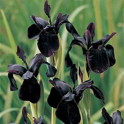 The Creation Of The Inaudible Black Flowers Iris Flowers Black Garden